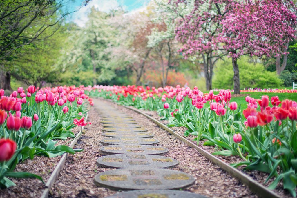 walkway with tulips and trees in bloom