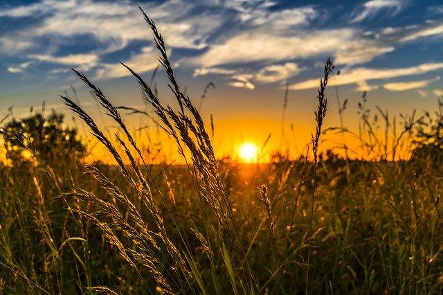 sunrise in a wheat field