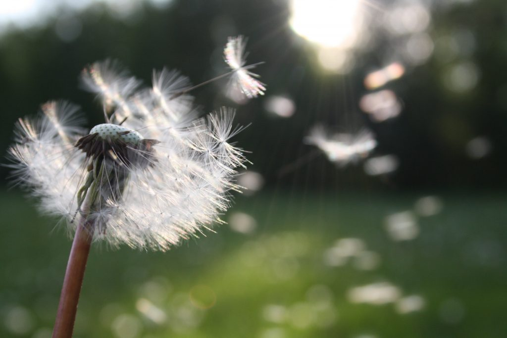 dandelion seeds floating in the air