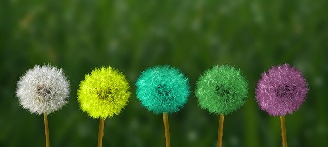 row of colorful dandelions