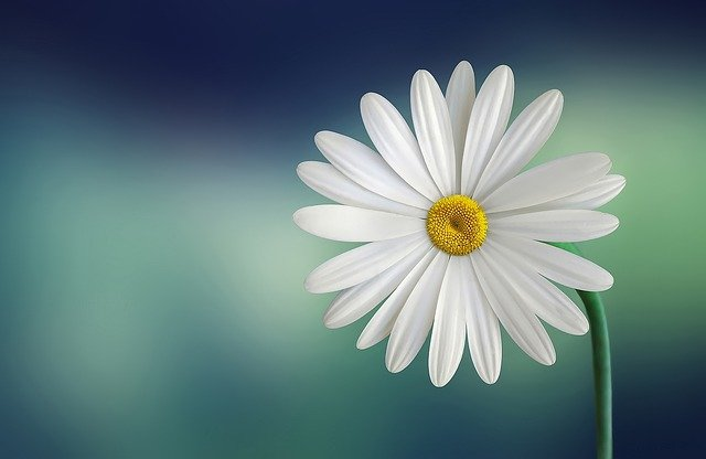 daisy with blue green background